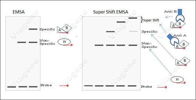 Electrophoretic mobility shift assay